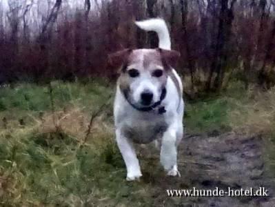 Jack Russel Terrier;Micki;Terrier