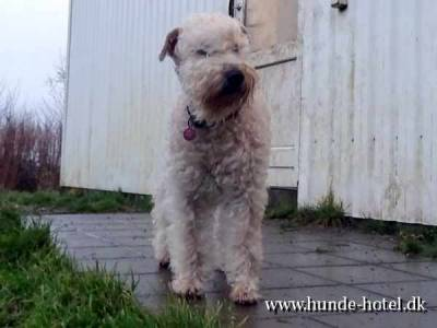 Irish Soft-Coated Wheaten Terrier;Tallulah;Terrier