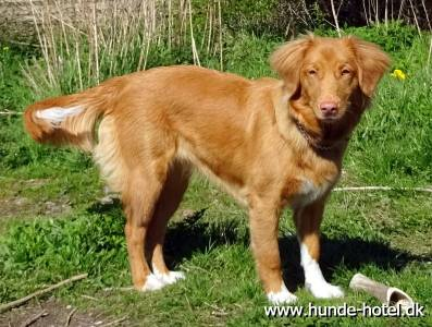 Chinook;Nova Scotia Duck Tolling Retriever;Toller