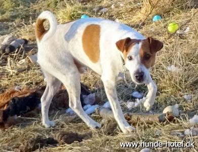 Bailey;Dansk/Svensk Gårdhund;Jack Russel Terrier;Terrier