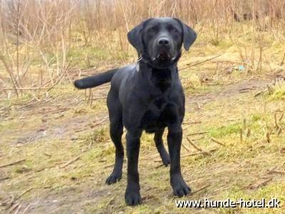 Boss;Labrador;Labrador Retriever