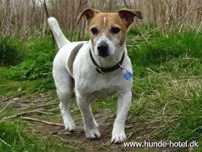 Jack Russel Terrier;Baloo;Terrier